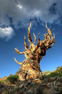 "Pin de Bristlecone ""Mathusalem"" (Californie)"