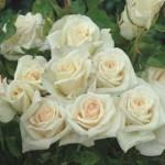 """La rose """" Blanche Françaix """", créée en 2012 par les Roseraies Guillot"""